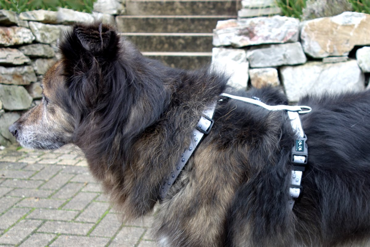 Dog collar or harness for the dog?